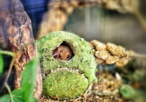 Ratón de campo (12)