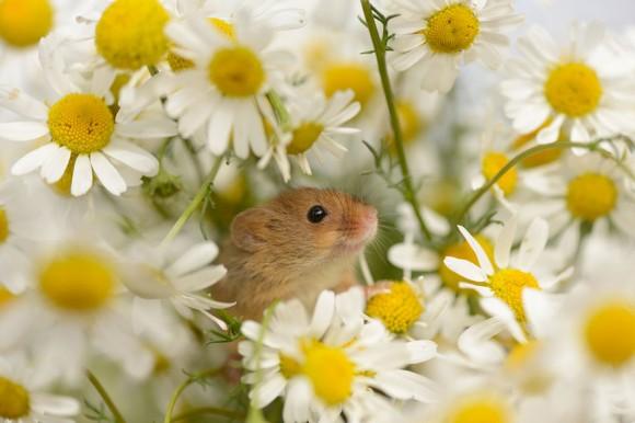 Ratón de campo (14)