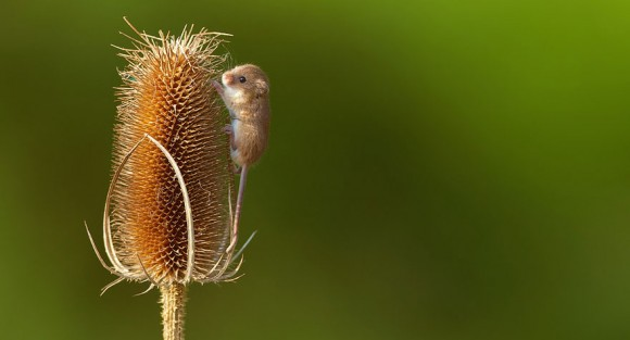 Ratón de campo (15)