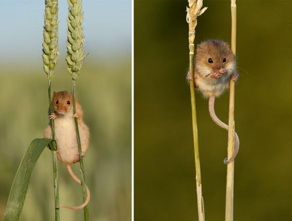 Ratón de campo (18)