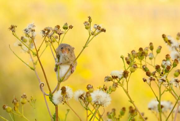 Ratón de campo (19)