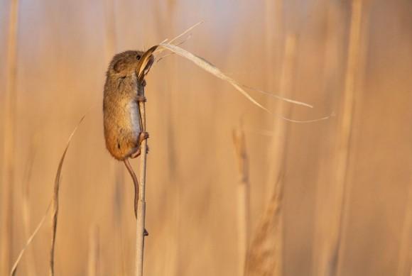 Ratón de campo (2)
