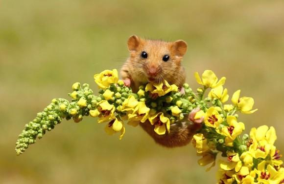 Ratón de campo (3)