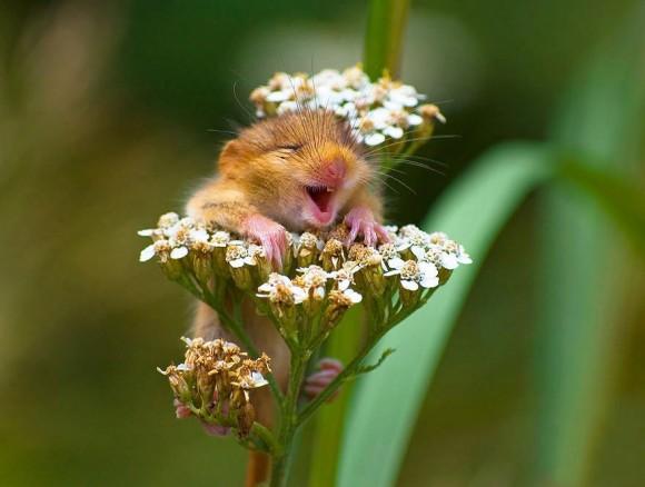 Ratón de campo (4)