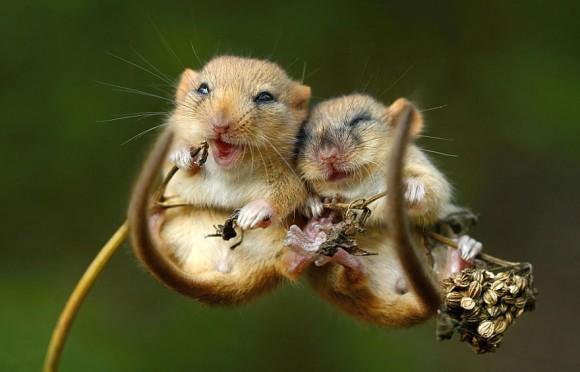 Ratón de campo (5)