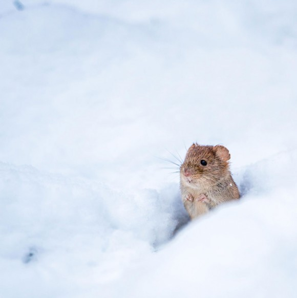 Ratón de campo (6)