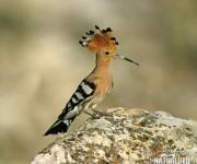 HUDHUD (Upupa Epocs), pájaro con el que se nombra al ciclón tropical que acaba de azotar a la costa oriental de la India. En Castellano, Abubilla.