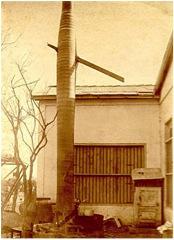 Palma en Batabanó atravesada por una endeble tabla de pino en el huracán del 20 de octubre de 1926. ¿qué inmensa fuerza tiene que haber tenido el viento para hacer que la tabla de pino pudiera atravesar el duro tronco de una palma real sin romperse?. Nótese que la parte más corta de la tabla de pino es la entrada de la misma; es decir, que casi atravesó por completo la palma.