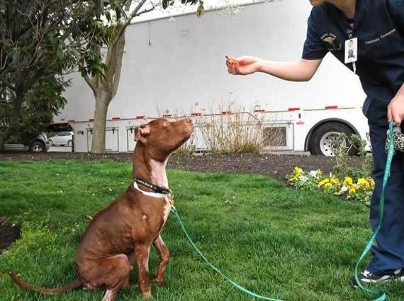 Ahora los veterinarios tenían un nuevo trabajo: enseñarle a ser un buen perro.