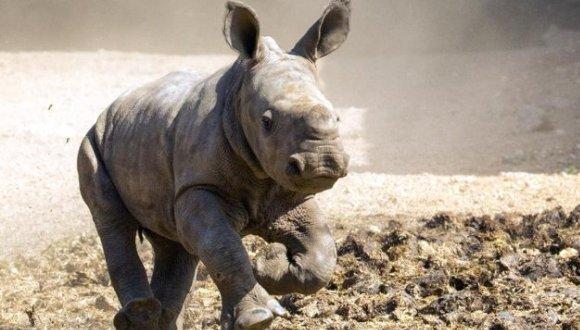 AFP/AFP/Archivos - Un rinoceronte blanco corre en el Ramat Gan Safari, un zoológico abierto cerca de Tel Aviv, el 3 de setiembre de 2014