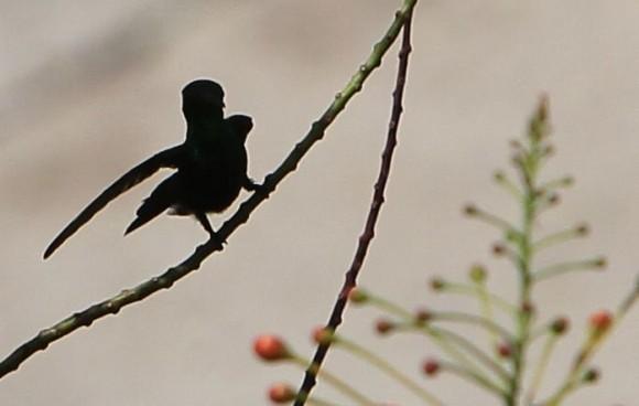 El zunzún, también conocido como picaflor o colibrí, es muy común en toda Cuba, lo mismo se le encuentra en bosques alejados que como en este caso, en jardines de la cuidad donde encuentra su alimento favorito, en las flores.