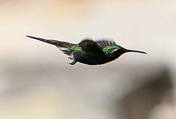 El zunzún, también conocido como picaflor o colibrí, es muy común en toda Cuba, lo mismo se le encuentra en bosques alejados que como en este caso en jardines caseros. Fotos:  Ismael Francisco Gonzalez Arceo