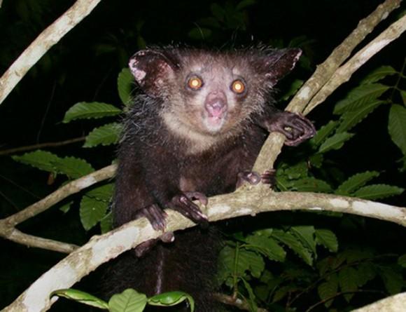 Aye-Aye. Los Aye-aye viven en Madagascar. Actualmente el animal está en peligro no sólo por la destrucción masiva de los bosques en los que vive, sino también por los prejuicios de los residentes locales