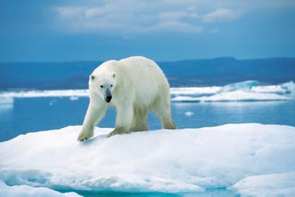 Oso polar. La longitud del depredador terrestre más grande del planeta alcanza 3 metros y una tonelada de peso. Este gigante blanco ataca a los animales marinos tanto en el agua como en la tierra. Por suerte le interesan poco los seres humanos.