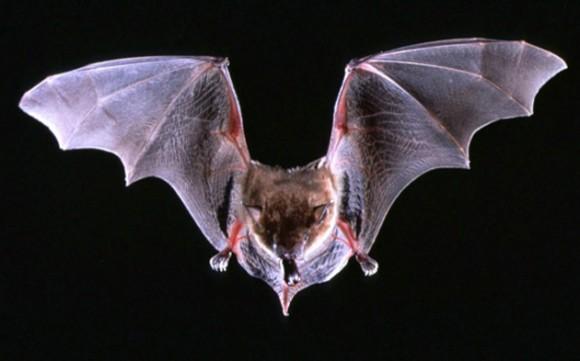 Phyllops falcatus. Este murciélago de la familia Phyllostomidae habita las Islas Caimán, Cuba, la República Dominicana y Haití. A pesar de su apariencia terrorífica se alimenta de higos silvestres. Esta pequeña criatura se considera uno de los murciélagos más misteriosos del planeta debido a los pocos conocimientos científicos sobre la especie.