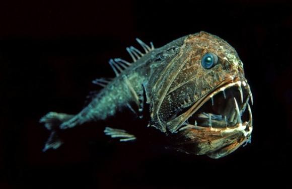 Anoplogaster cornuta. Este pez depredador tiene una cabeza gigante con una variedad de dientes largos. Algunos lo consideran el animal más terrorífico de la fauna.