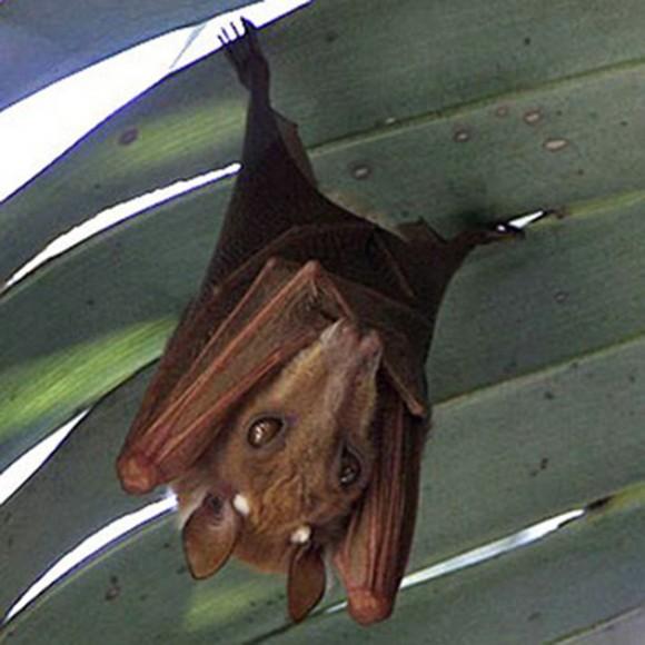 Epomophorus angolensis. A este murciélago de la fruta lo llaman 'el perro volador'. A diferencia de los murciélagos comunes, los de la fruta cuando se mueven confían no en la ecolocalización, sino en su visión y la audición, por lo que tienen estos ojos tan grandes