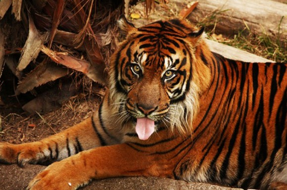 Tigre. Este animal es uno de los depredadores más peligrosos del planeta. Hoy en día el poderoso depredador se convirtió en una especie en peligro de extinción