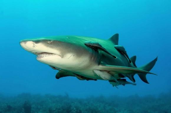 Tiburón de limón. No es el mayor tiburón (hasta 3 metros), pero es uno de los más poderosos tiburones del mundo. Buena noticia: los seres humanos no la interesan