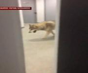Un supuesto lobo paseando por el hotel