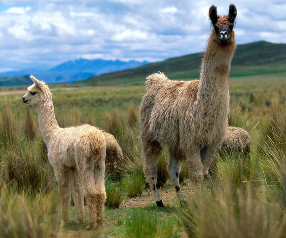 Animals South American Llamas  Andes Mountains