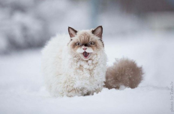 Gato persa (1)
