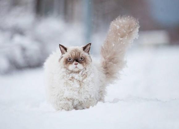 Gato persa (2)