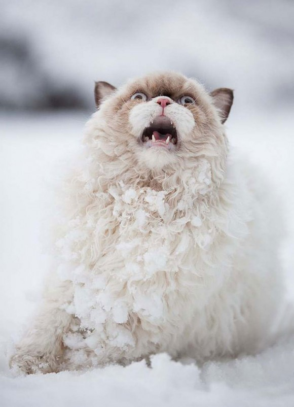 Gato persa (3)
