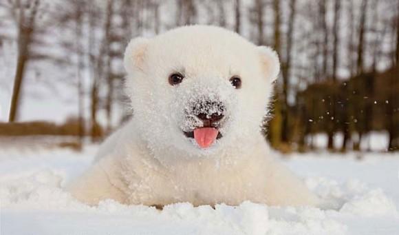 Oso polar (1)