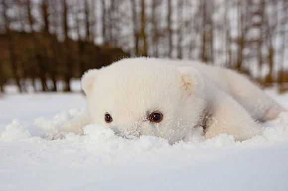 Oso polar (2)