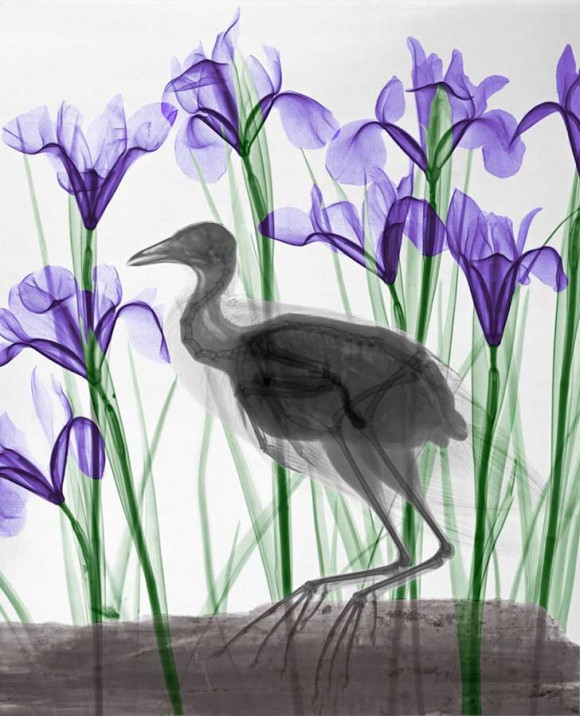 coot-iris