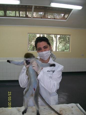 Alyenis Izquierdo durante el examen clínico de un mono verde, ejemplar incluido en la evaluación de la monovalente cubana de dengue II, realizado en Kenya en marzo-abril de 2011. Foto: cortesía de la entrevistada.