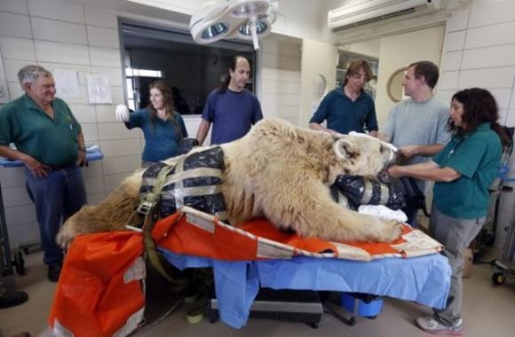 El oso Mango,de 19 años, es intervenido por los veterinarios del zoológico de Tel Aviv, Israel. / Foto: elmeme.me