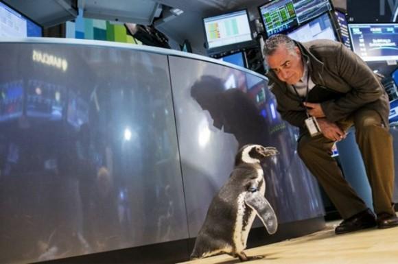 Pete el pingüino dando un paseo por la bolsa de valores de New York el 15 de enero, durante la celebración de los 50 años de Mundo Marino. / Foto: elmeme.me