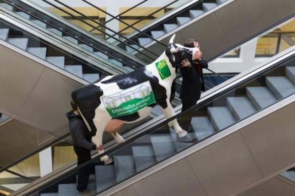 Dos hombres llevan una vaca falsa que será el decorado de la Semana Verde anual en Berlín. / Foto: elmeme.me