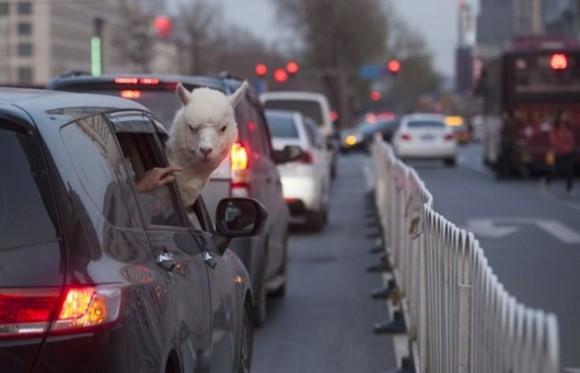 Un bar de China alquiló a esta alpaca macho de 5 años de edad, con la esperanza de atraer a más clientes. / Foto: elmeme.me