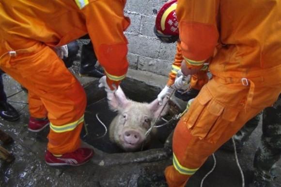 Bomberos sacan a un chancho atrapado en un pozo de agua en Lequing, China. / Foto: elmeme.me