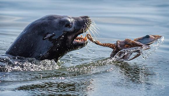 lobo marino vs pulpo 4