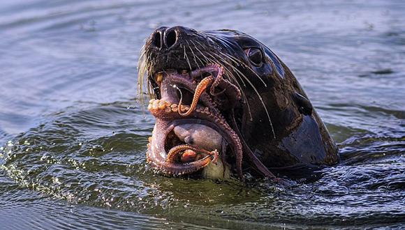 lobo marino vs pulpo 9