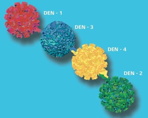 Recreación de la estructura de los cuatro serotipos del virus. Ilustración: Gizéh Rangel de Lázaro.