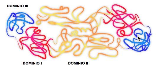 Representación estructural de la proteína de la envoltura del virus en la que se muestran los tres dominios que la conforman, el I, II y III, este último señalado en color azul. Para el candidato vacunal cubano se ha trabajado con el dominio III, donde se encuentra el sitio de unión del receptor. Cortesía de Alyenis Izquierdo.