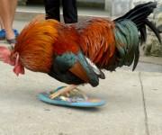 En cuanto ve una chancleta en el suelo, Triquito la aparea como si fuera una gallina. Explican sus dueños que quizás se deba por su crianza hogareña. Foto: Yariel Valdés González/ Vanguardia