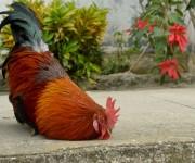 El gallo amaestrado de Braulio Coroneaux se «hace el muerto». Foto: Yariel Valdés González/ Vanguardia