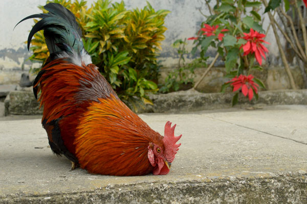 El gallo Triquito, la graciosa mascota de un pueblo del ... Cantando In English
