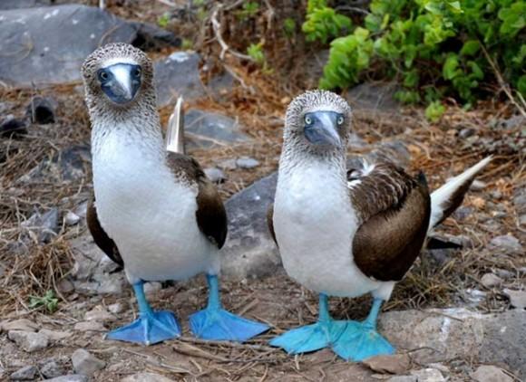 Alcatraz de patas azules. Foto talesmaze.com