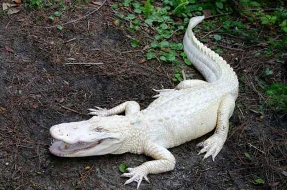 Lagarto Albino. Foto talesmaze.com