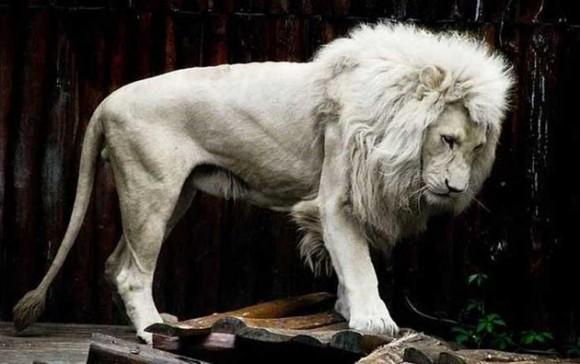 León Albino. Foto talesmaze.com