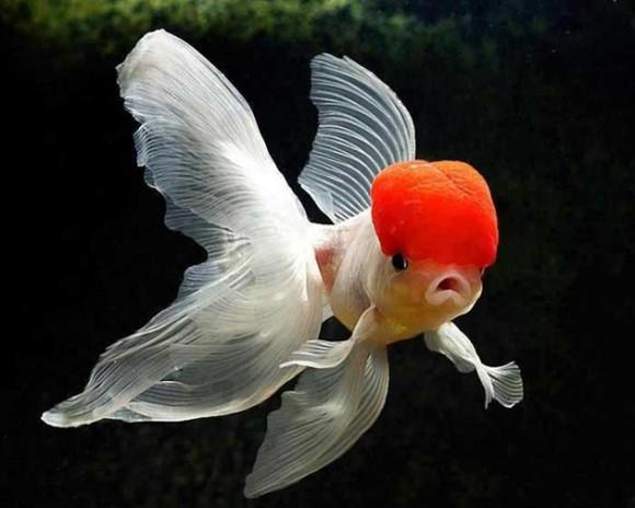 Pez de gorra roja. Foto talesmaze.com