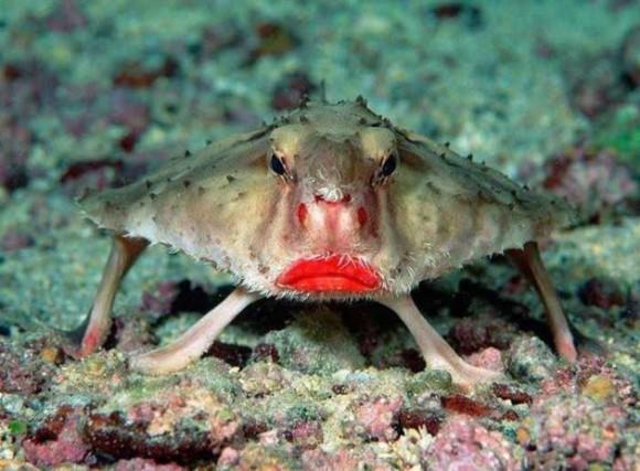 Pez murciélago de boca roja. Foto talesmaze.com