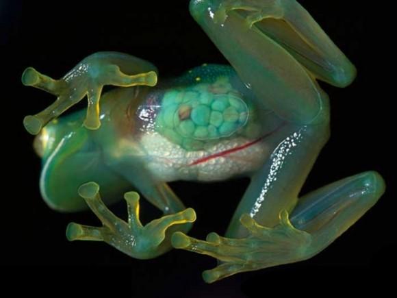Rana de cristal. Foto talesmaze.com